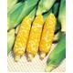 【9月15日で終了 生で食べられる】朝一番採りを直送 フルーツコーン「ゆめのコーン」 5kg - 縮小画像1