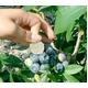 【9月10日で終了】味に自信あり。信州上高地のふもと、産地直送最高級美味しいブルーベリー「生」 - 縮小画像2