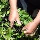海東ブラザース 烏龍茶(ウーロン茶) 有機JAS認定商品 無添加・無着色・無香料 【500ml×24本】 - 縮小画像2
