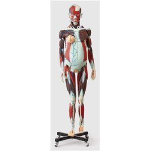 人体解剖模型 【女/等身大100分解】 精密度模型 神経・脈管系表示 カバー付き J-101-1 - 拡大画像