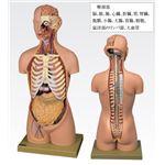 トルソ人体モデル/人体解剖模型 【20分解】 主要臓器とりはずし可 J-113-1