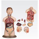 ミニトルソ/人体解剖模型 【9分解】 高さ35cm J-113-2