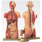 トルソ人体モデル/人体解剖模型 【20分解】 J-113-3