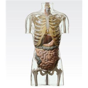 透明トルソ/人体解剖模型 【消化器系人体モデル】 等身大 1体型モデル J-113-4 - 拡大画像