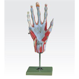 手の筋肉解剖模型/人体解剖模型 【5分解】 実物大 合成樹脂製 J-114-1 - 拡大画像