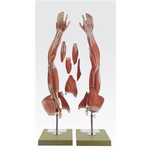 上肢模型/人体解剖模型 【6分解】 等身大 J-114-8 - 拡大画像