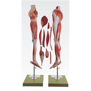 下肢模型/人体解剖模型 【10分解】 等身大 J-114-9 - 拡大画像