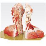 頭部半截モデル/人体解剖模型 【19分解】 頭蓋冠取りはずし可 脳:8個分解可 J-116-0