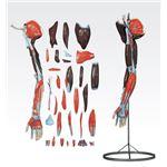 上肢模型/人体解剖模型 【31分解】 J-119-1