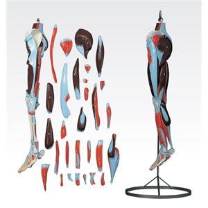 下肢模型/人体解剖模型 【30分解】 J-119-2 - 拡大画像