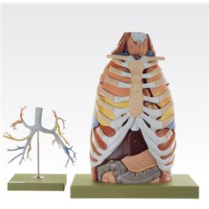 胸部解剖模型/人体解剖模型 【17分解】 等身大 J-125-0 - 拡大画像